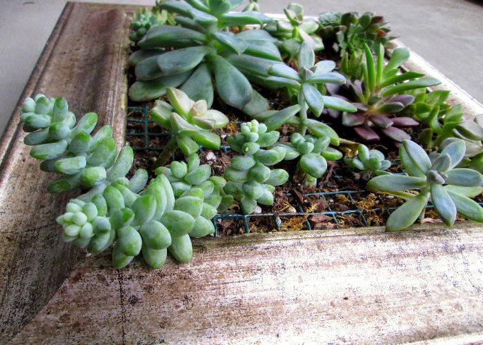 giardino-succulente verticali, piante grasse-quadro